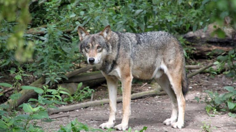 Der Wolf ist zurück und weil der Wolf unter strengem Schutz steht und keine natürlichen Feinde hat, breitet er sich nahezu ungehindert aus.