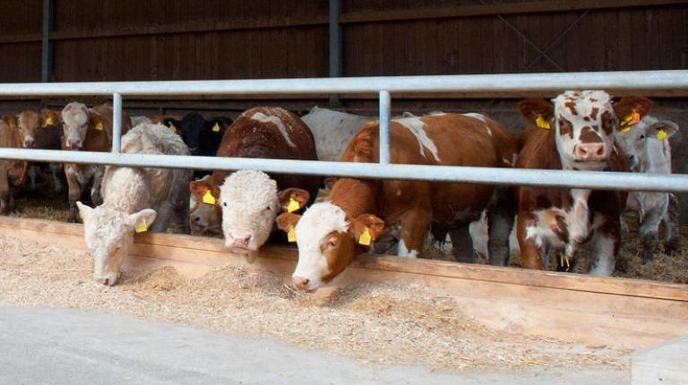 Zweinutzungsrassen bringen eine hervorragende Milchleistung und gleichzeitig eine sehr gute Fleischqualität.