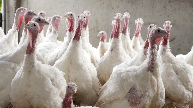 Vermeintliche Tierschützer verursachen Panik in gut geführtem Stall – Fünf Tiere verenden.
