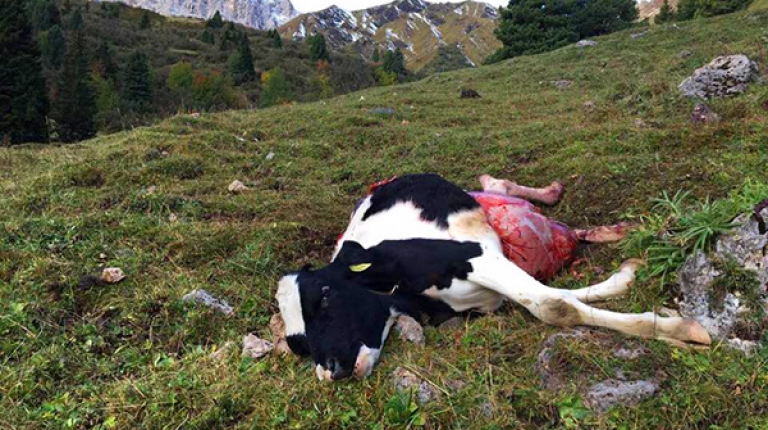 Auf den Weiden und Almen werden immer mehr Kühe oder Schafe vom Wolf getötet.