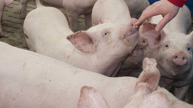 Ob es dem Schwein gutgeht, sieht der Landwirt auch daran, wie aktiv es ist.