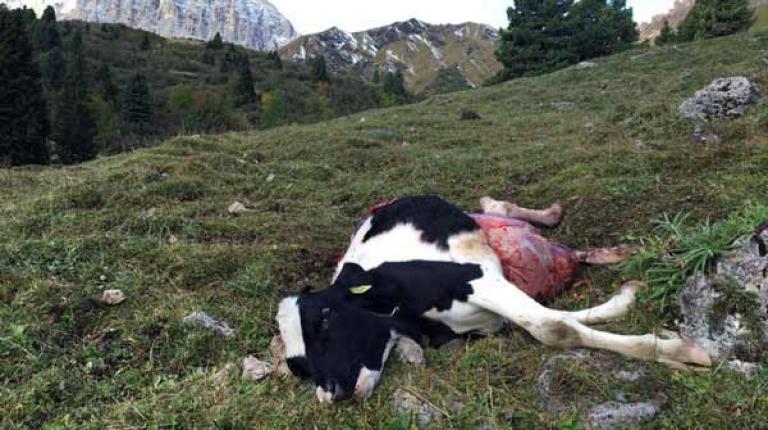 In den vergangenen Monaten wurden auf der Seiseralm und angrenzenden Provinzen Schafe, Fohlen, Lamas, Mufflons und Kälber von Wölfen gerissen.