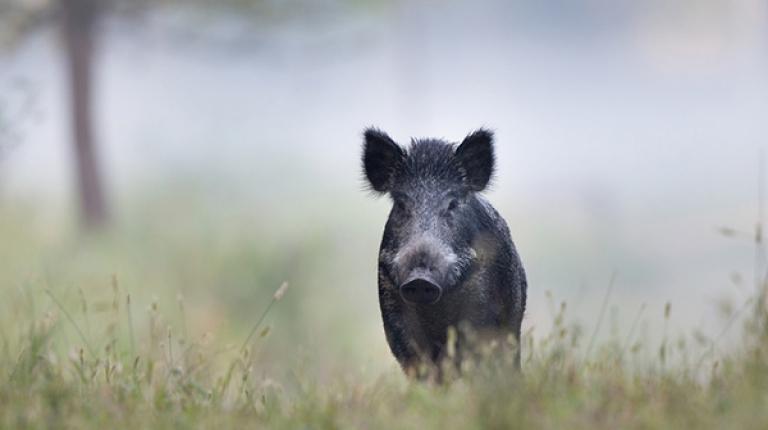 Die Afrikanische Schweinepest befällt Wild- und Hausschweine gleichermaßen