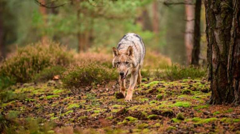 Der Wolf ist zurück in Deutschland und im gesamten Alpenraum. Aktuellen Zahlen zufolge inzwischen bereits 15.000 bis 20.000 Tiere in Europa.