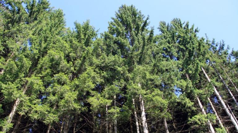 Aufgrund der geringen Niederschläge in den letzten Monaten sind die Wasserspeicher der Bäume nur sehr gering gefüllt.