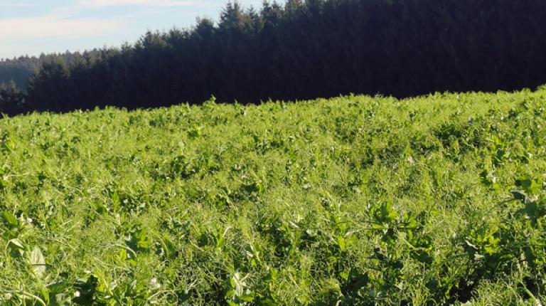 Durch Eiweißpflanzen auf ökologischen Vorrangflächen konnte die Versorgung mit heimischem Eiweißfutter deutlich verbessert und der Sojaimport reduziert werden.