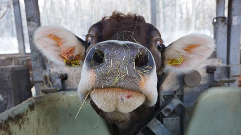 Ganz nah ans Tier heran kamen die Lokaljournalisten bei ihren Besuchen in den Ställen von Bayerns Bauern...