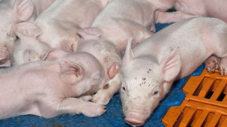 Aus tierärztlicher Sicht könnte mit örtlicher Betäubung ein deutlicher Vorteil in Sachen Tierschutz verbunden sein – auch und gerade im Vergleich zu einer Vollnarkose
