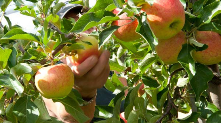 Mindestlohn belastet heimische Obst- und Gemüsebauern.