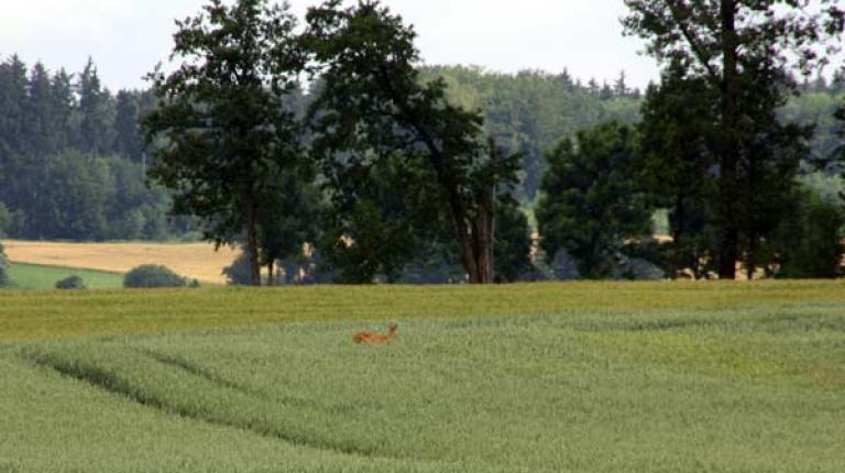 Mehr wildtiergerechten Zwischenfruchtanbau auf Bayerns Feldern ermöglicht der Bayerische Bauernverband zusammen mit dem Bayerischen Jagdverband.