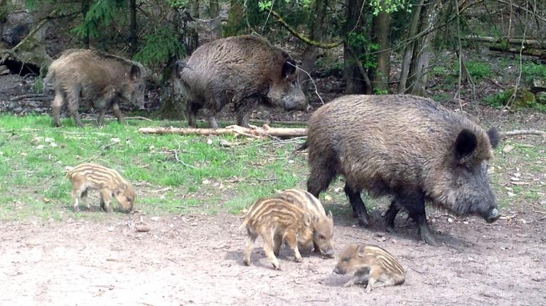 Die Afrikanische Schweinepest breitet sich im Moment von den baltischen Staaten und Osteuropa weiter aus.