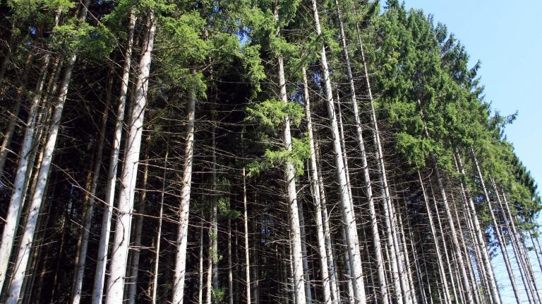 Um die weitere Ausbreitung des Borkenkäfer-Schädlings bestmöglich einzudämmen sollen Waldbesitzer mit größter Aufmerksamkeit  ihre Wälder auf Befall zu kontrollieren.