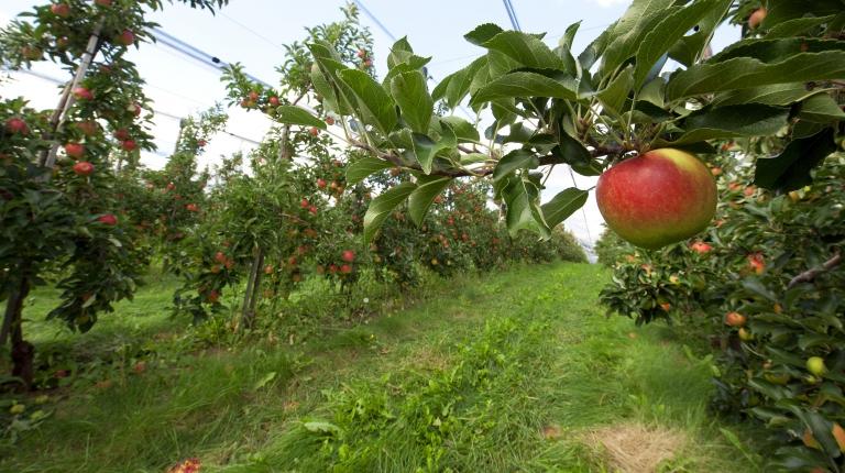 Apfelernte: Obstbauern in Bayern erwarten gute Durchschnittsernte.