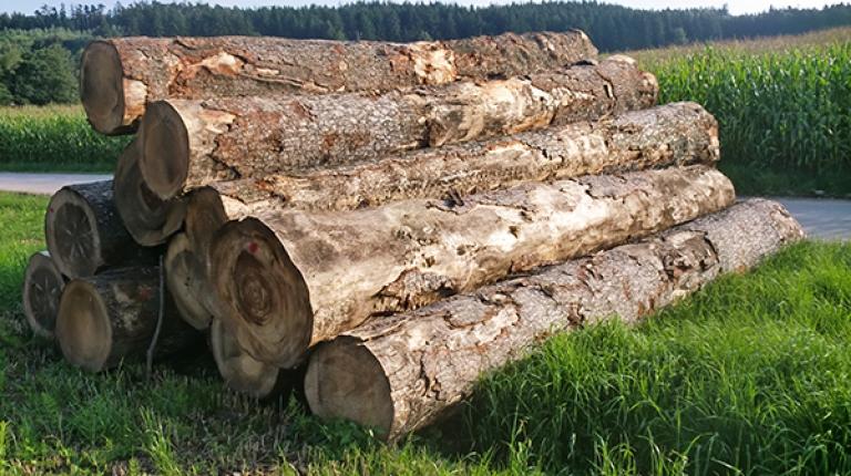 Holz, das vom Borkenkäfer befallen ist, darf kurzfristig auch auf förderrechtlich-relevanten Flächen gelagert werden