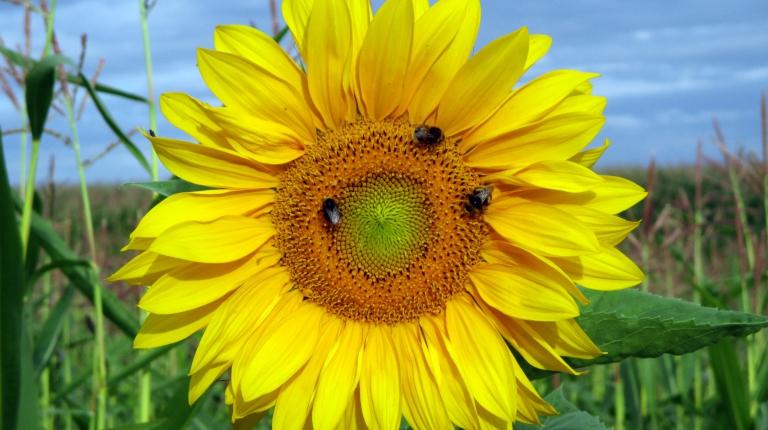 Erfreulich für die Bienen, dass rund 14.000 Hektar Blühflächen in 2017 alleine über das bayerische Kulturlandschaftsprogramm (KULAP)angelegt wurden.
