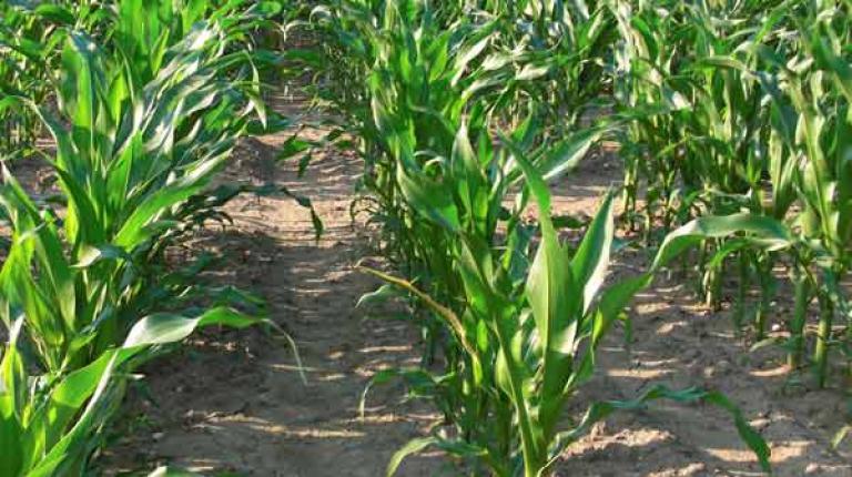 Um Mais vom Drahtwurmbefall zu schützen ist das Pflanzenschuztmittel Santana als Notfallmaßnahme nötig.