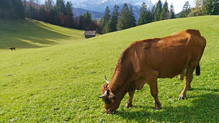 Mit einer speziellen Förderung für gefährdete Nutztierrassen honoriert das Landwirtschaftsministerium den hohen Aufwand und das große Engagement bayerischer Züchter