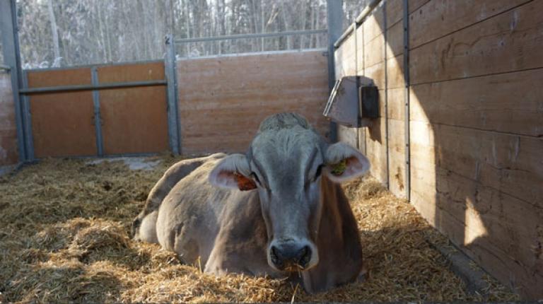 Ab 1. September gilt ein Verbot zur Schlachtung hochträchtiger Säugetiere.
