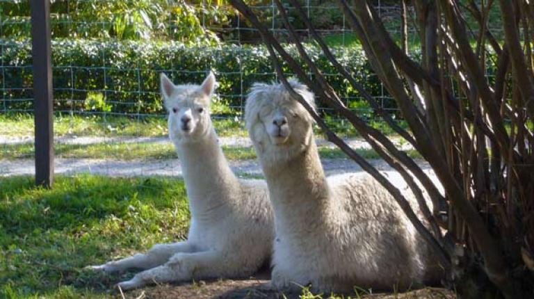 Südamerikanische Schönheiten: Alpakas und Lamas.