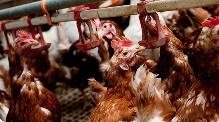 Die Einschleppung des Vogelgrippenviruses in Hausgeflügelbestände gilt als wahrscheinlich