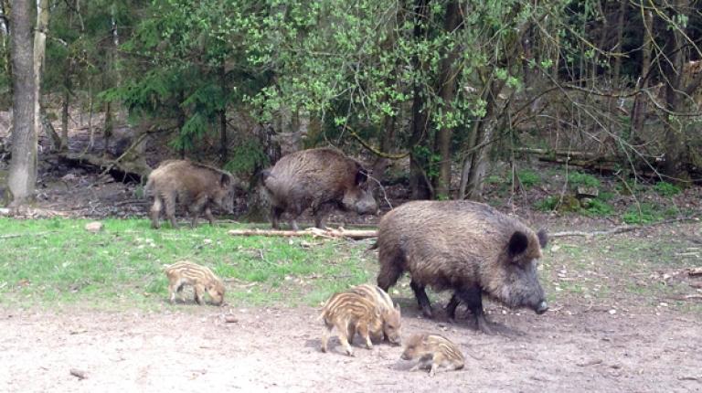 In fast allen Ländern Osteuropas sowie in Russland verbreitet sich die hoch ansteckende Afrikanische Schweinepest unter Wildschweinen unaufhaltsam.