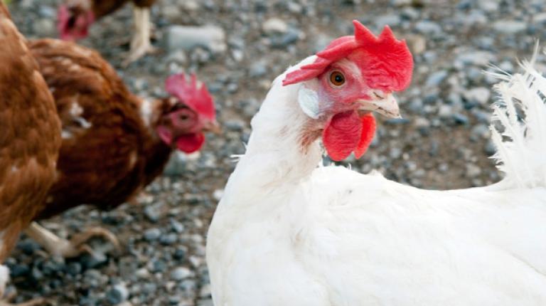 Die landesweite Aufstallungspflicht für Geflügel in Bayern wurde aufgehoben.