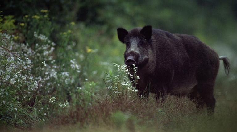 Gerade mit Blick auf die Ausbreitung der Afrikanischen Schweinepest ist eine verstärkte Jagd auf Schwarzwild unerlässlich - auch mit Saufängen.