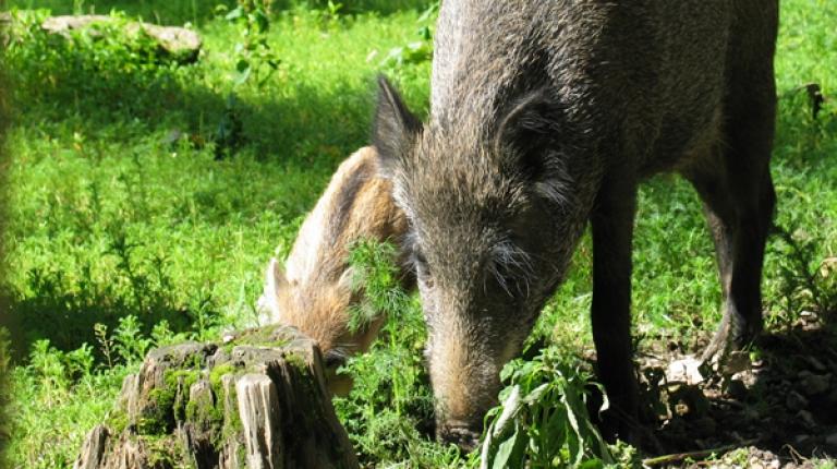 Ein Schritt, um die Gefahr durch die afrikanische Schweinepest einzudämmen, stellt die konsequente Bejagung von Schwarzwild in Bayern dar...