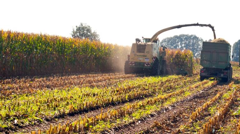 Schon wird in diesem Jahr die Maisernte beginnen.