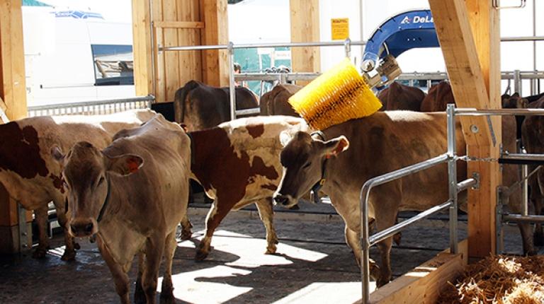 Die Milchkühe haben ihren Stall auf der Theresienwiese bezogen.