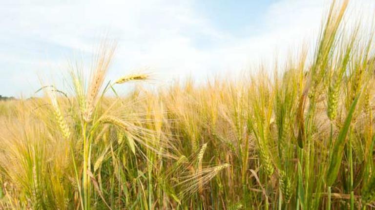 Hitze kostet bei Getreide Ertrag.