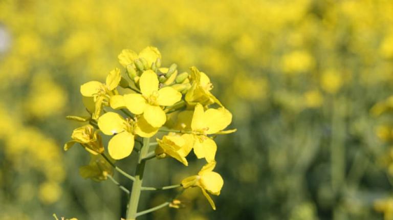 Der Raps kann nur so schön blühen, wenn die Blütenanlagen nicht von Insekten gefressen werden.