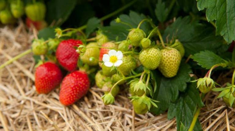 Bauern hoffen auf gutes Wetter fuer heimische Erdbeeren.